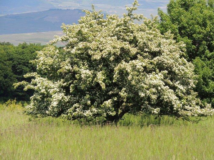 flowering-hawthorn-862734_1280